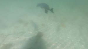 Seal swimming under Stand Up Paddleboard